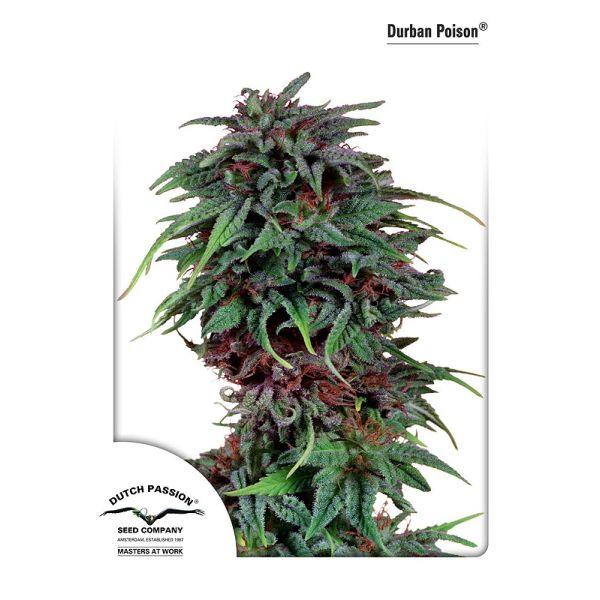 Durban Poison