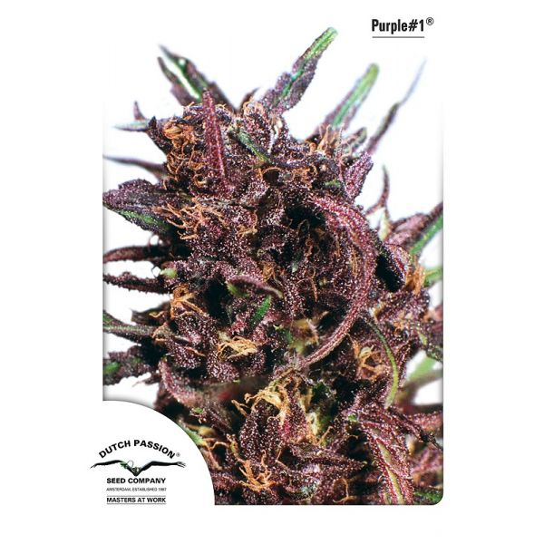 Purple No.1